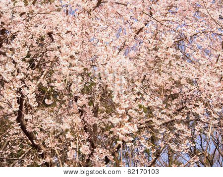 Blooming weeping cherry blossom tree