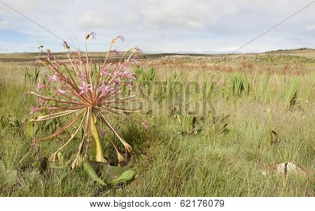 Common Candelabra Flower, South Africa