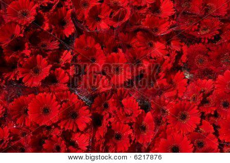 Red Gerbera Background