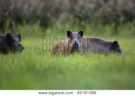 Boar in a clearing.