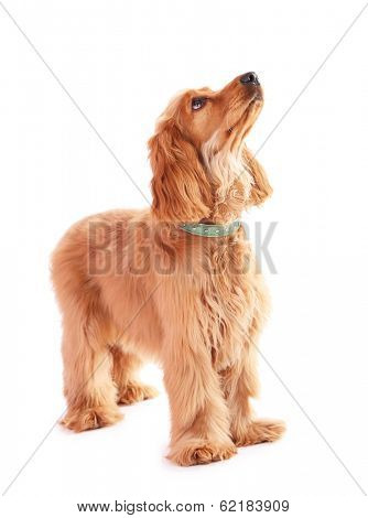 Beautiful cocker spaniel isolated on white