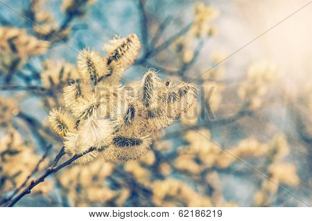 Willow (salix Caprea) Branches With Buds
