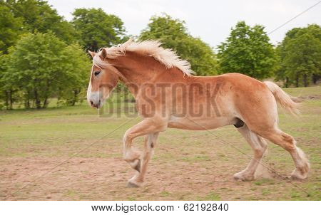 Blond Belgian draft horse galloping in summer pasture
