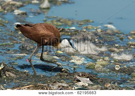 African Jacana Hunting On Floating Refuse And Sewage