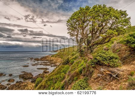 Twisted Old Pine Tree On Coastline Of Desert Des Agriates In Corsica
