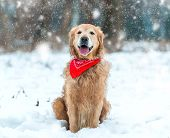 picture of freezing temperatures  - Young golden retriever sitting at the snow - JPG