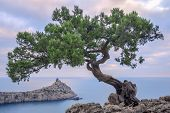 stock photo of juniper-tree  - Tree on rock in Crimea - JPG