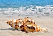 stock photo of conch  - Conch shell on beach - JPG