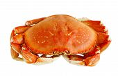 stock photo of cooked blue crab  - Cooked Dungeness crab isolated on white background - JPG