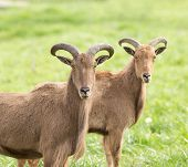 picture of north sudan  - Two barbary sheep standing on grass and looking at camera - JPG