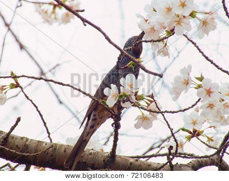 Yoshino cherry tree blossoms and Brown-eared Bulbul, Microscelis amaurotis