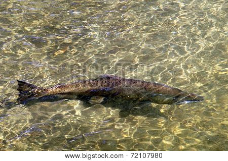 King Salmon in a River