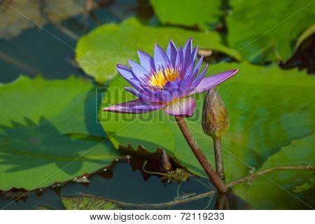 Violet Lotus Flower And Bud, Nelumbo, In Water