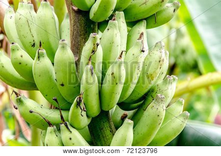 Banana In Banana Farm