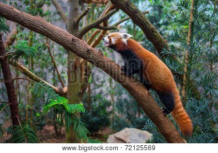 red panda or red raccoon climbing tree