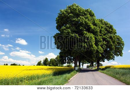 Field Of Rapeseed With Road And Alley Of Lime Tree