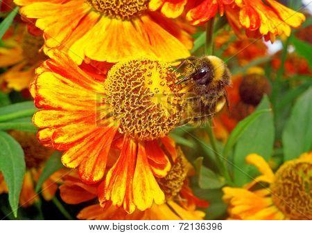 Macro - Bumblebee On A Bright Orange Flower Helenium