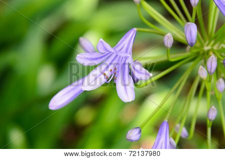 Agapanthus Flowers.