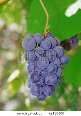 Violaceous Grapes On The Vine