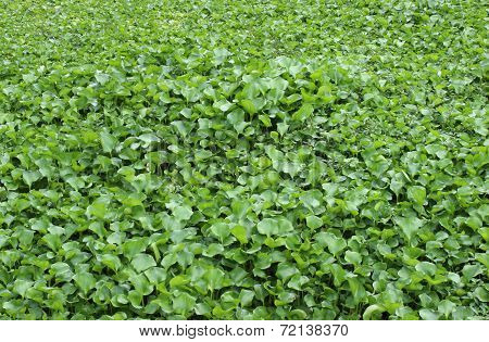 Green Water Hyacinth Background