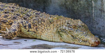 Yellow Crocodile