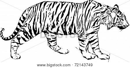Sketch vector illustration of tyger
