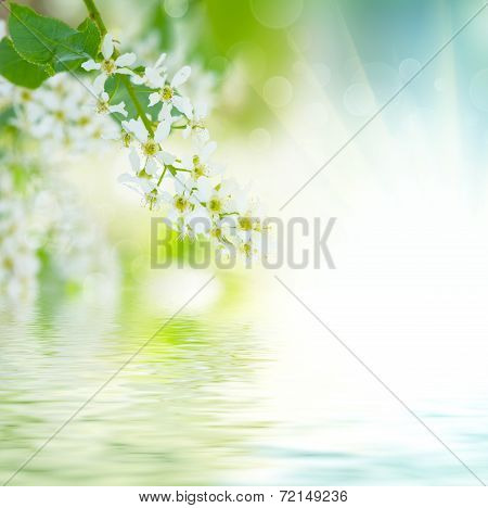 Bird-cherry tree flowers