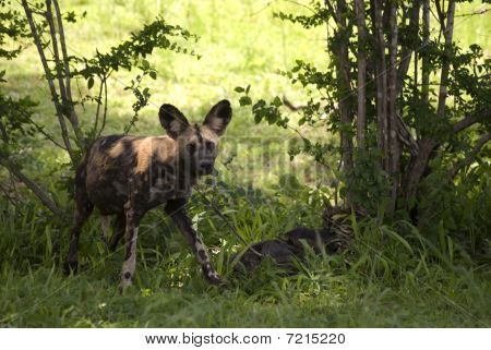African Hunting Dogs, Selous National Park, Tanzania