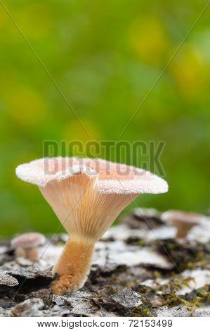 Single Young Mushroom On Log