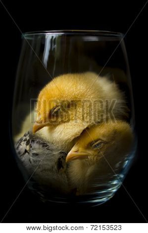 Sleeping Fuzzy-Yellow Baby Chickens in Glass