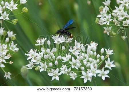 Bee Pollinating on the White Flowers
