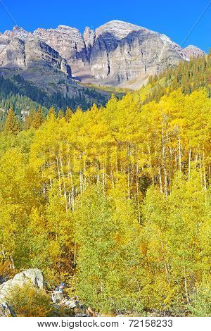 Aspen trees in golden autumn colors