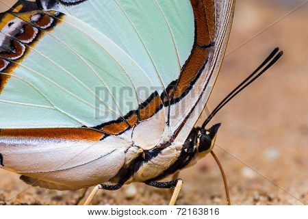 Emerald Nawab Or Indian Yellow Nawab Butterfly