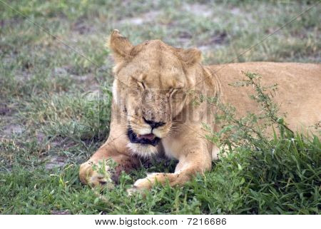 Lioness, Selous National Park, Tanzania