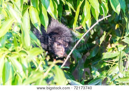 Spider Monkey And Foliage