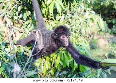 Spider Monkey Reaching For Banana