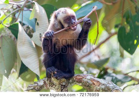 Capuchin Monkey Chewing On A Stick