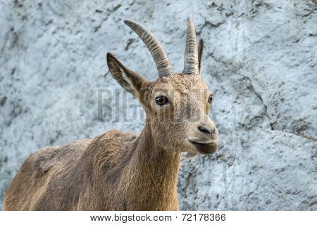 The Goat Attentively Looks Aside