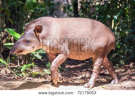 Brazilian Tapir Walking