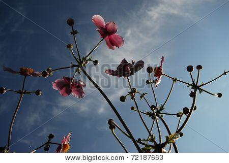 autumn anemones