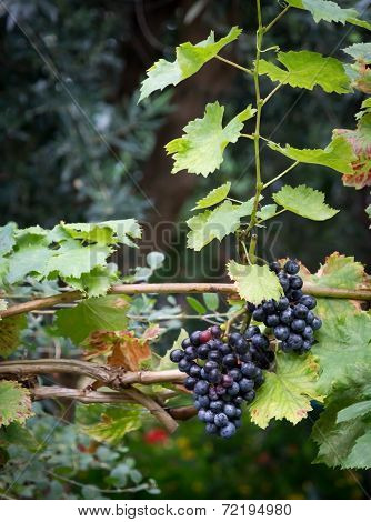 Grapes On Vine Stock