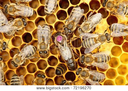 A Circle Of Bees With Bee-queen