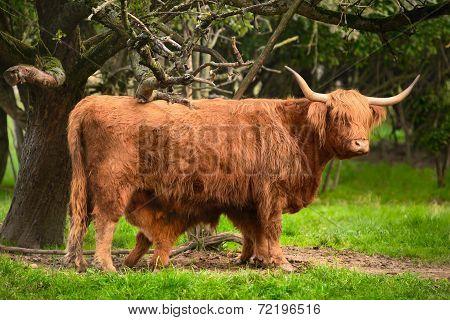 Highland Cattle In Idyllic Farmland