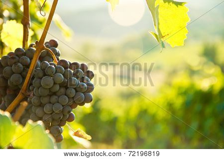 Grapes on the vine in Tuscany, Italy