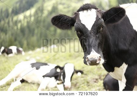 A Black And White Cow
