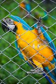 image of green-winged macaw  - blue and yellow macaw on green in cage - JPG
