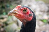 pic of fighting-rooster  - A head of asian young male fighting cock - JPG