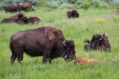 image of female buffalo  - wildlife showing affection with a mother cleaning her baby in yellowstone national park - JPG