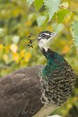 picture of peahen  - Colorful Female Peacock - JPG