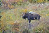 stock photo of antlers  - Bull Moose with antler rack in meadow in Autumn colors